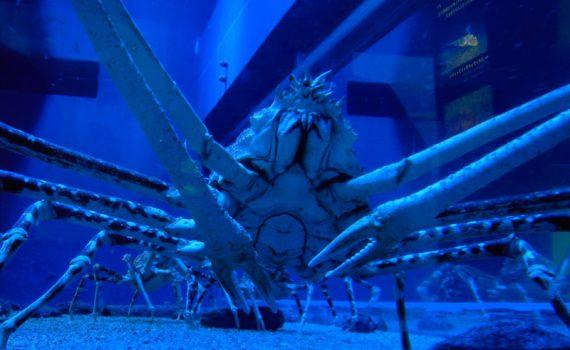Japanse reuzenkrab - de grootste krab die er bestaat