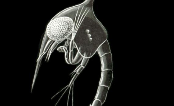 gewone strandkrab larve
